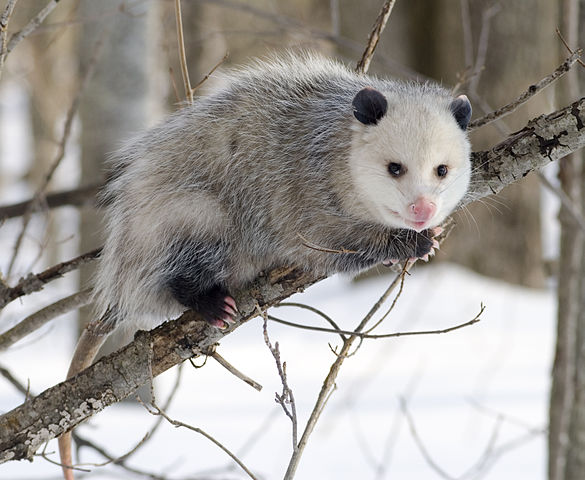 Image of a possum climbing a small tree over a snow-covered ground.