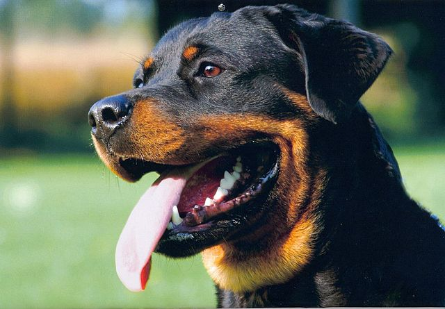 A close up of the face of a Rottweiler smiling with its tongue out against a background of green grass.