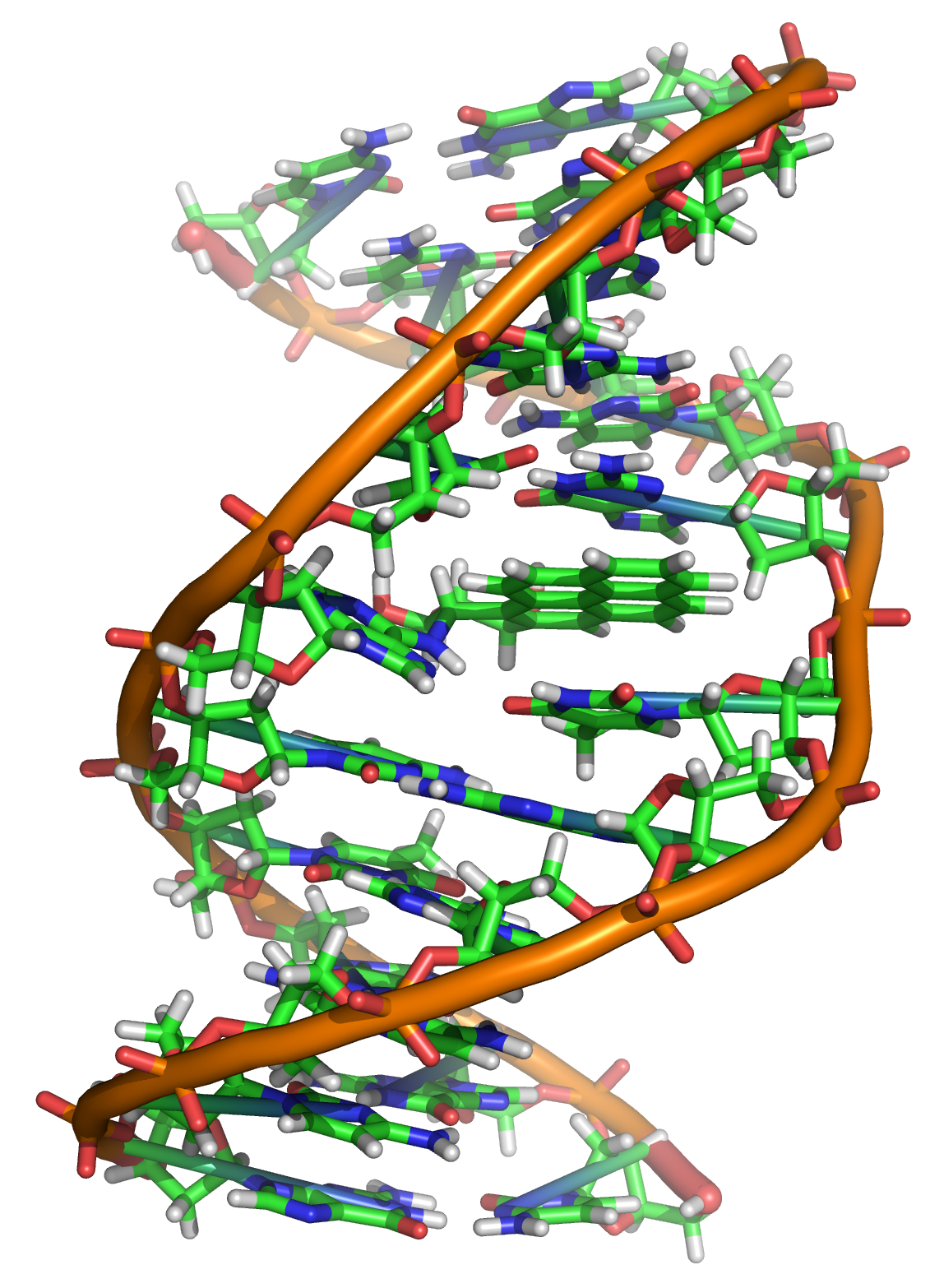 Double helix strand of DNA with backbone that is orange and bases that are green