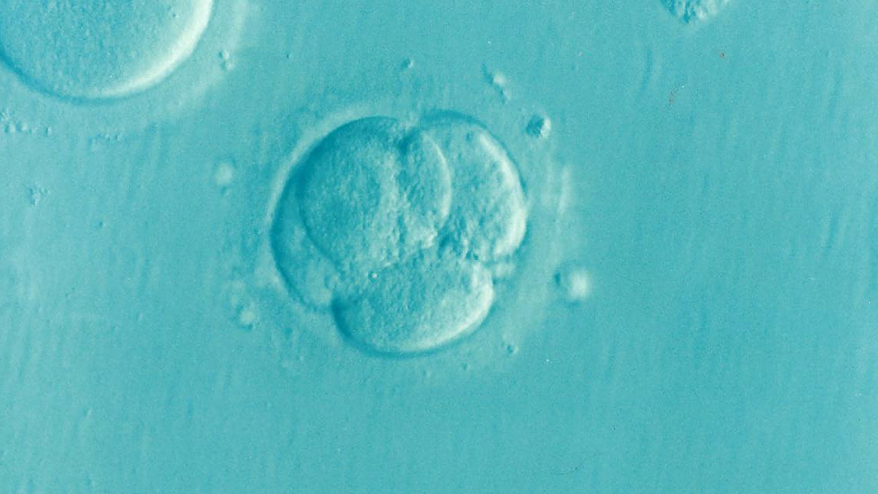Human embryo at four-cell stage on an aqua-colored background