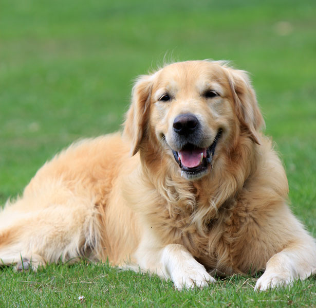Large golden retriever dog lying on grass