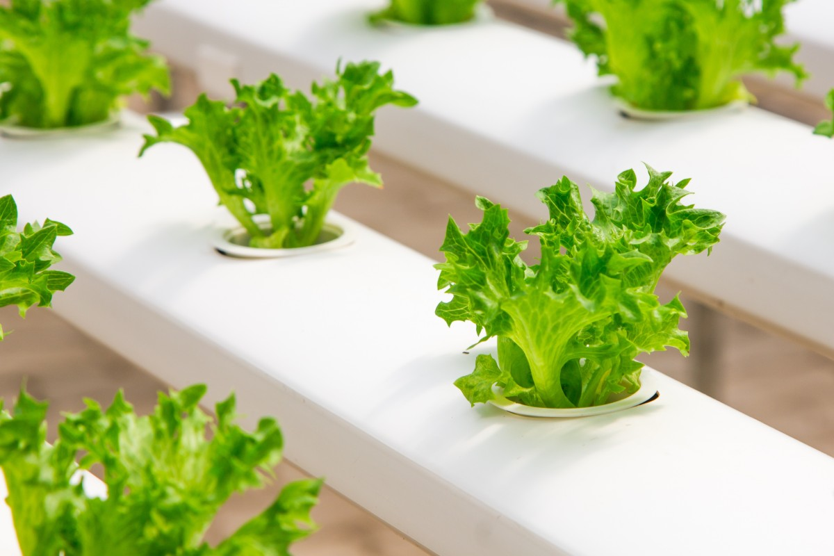 Lettuce plants grown indors in white containers.