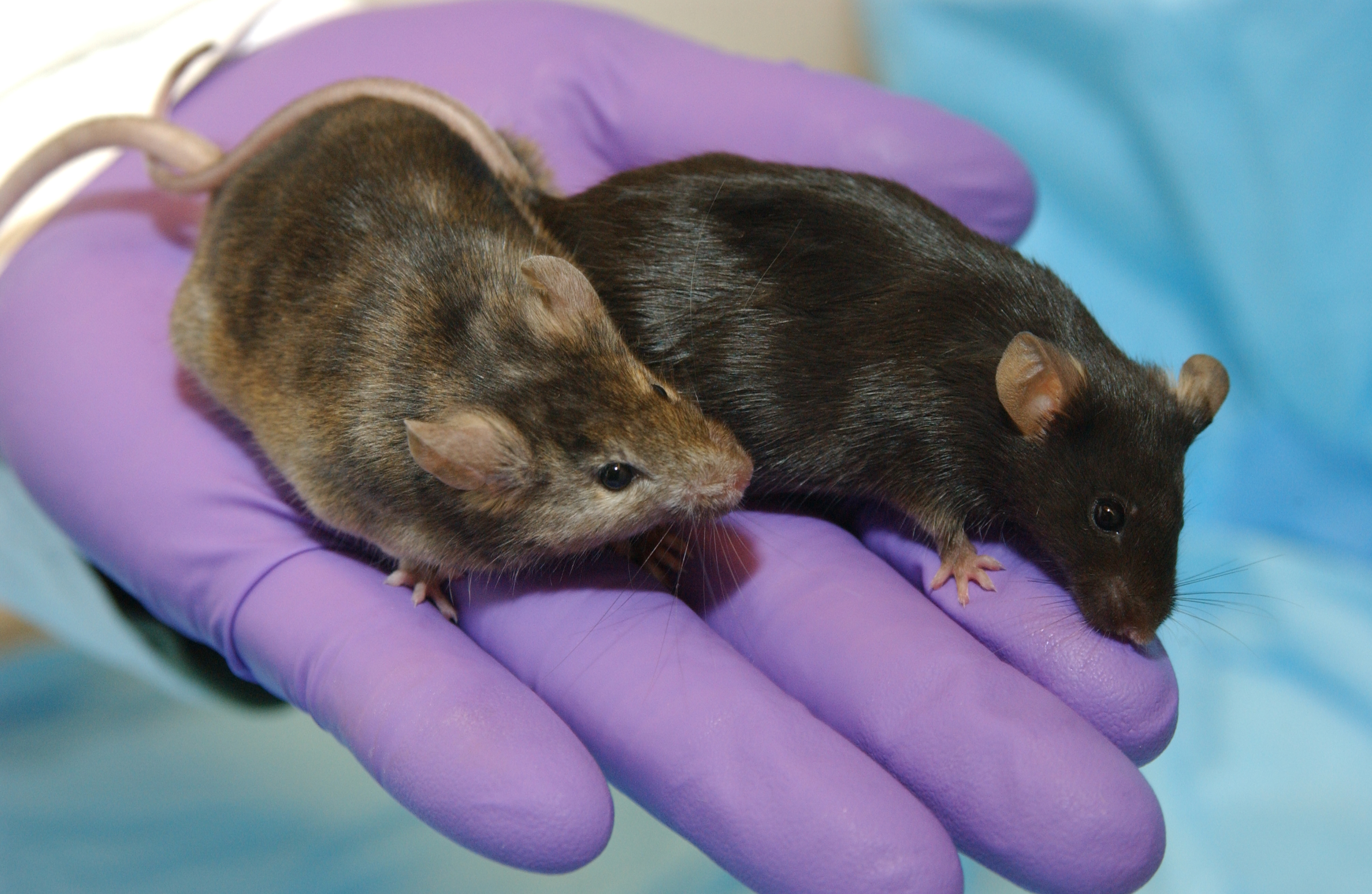 A purple gloved hand holds two mice.