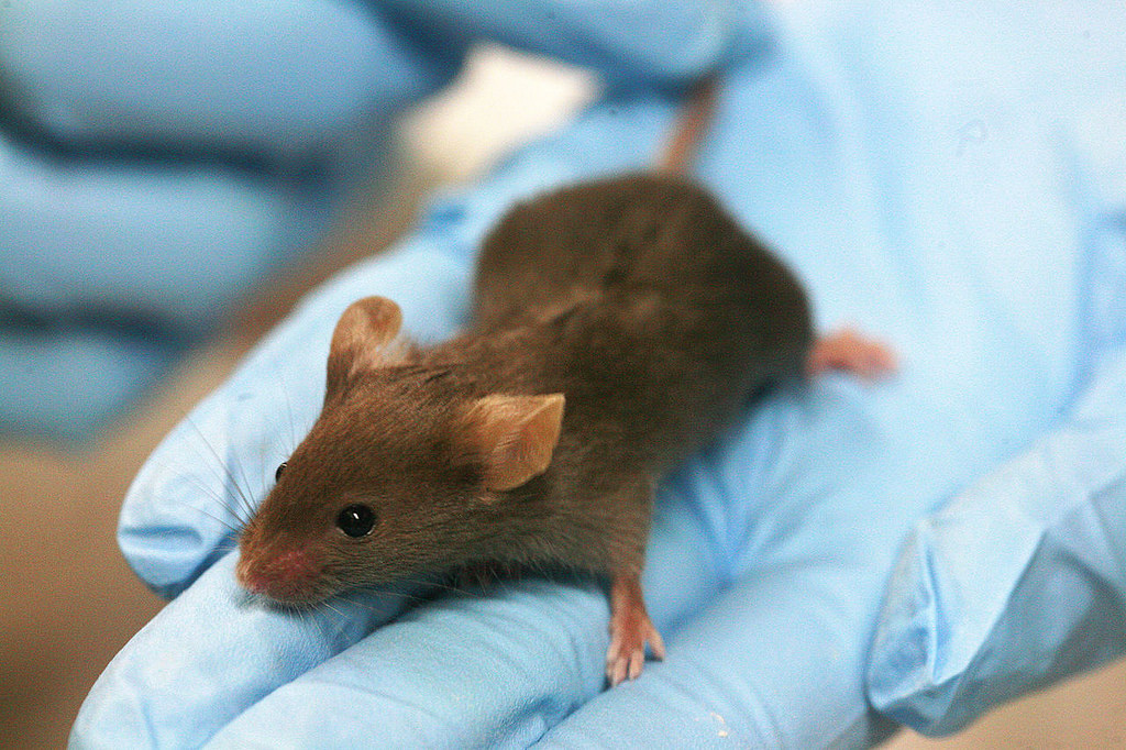 Brown mouse sitting on gloved hand