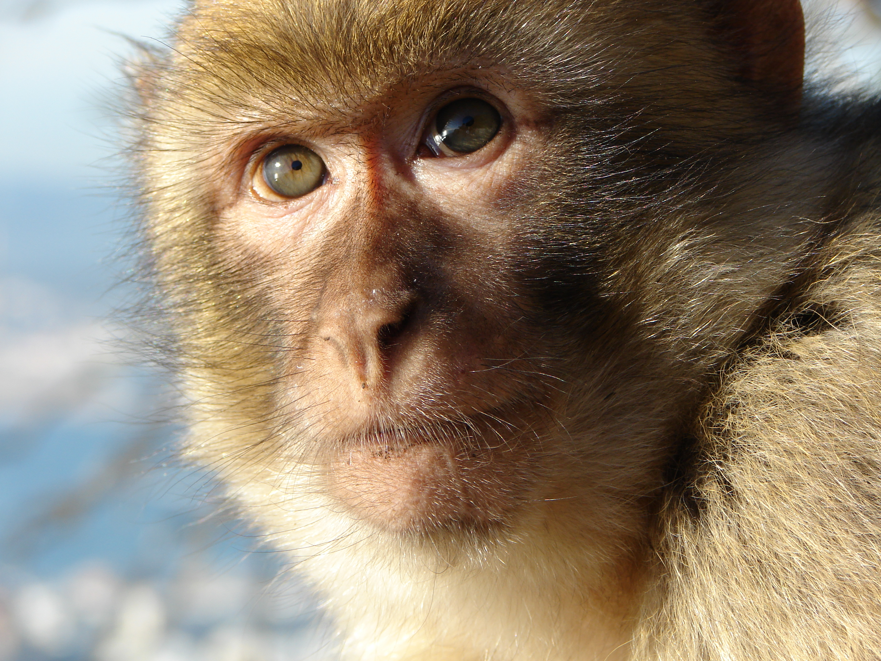 Close-up of macaque monkey