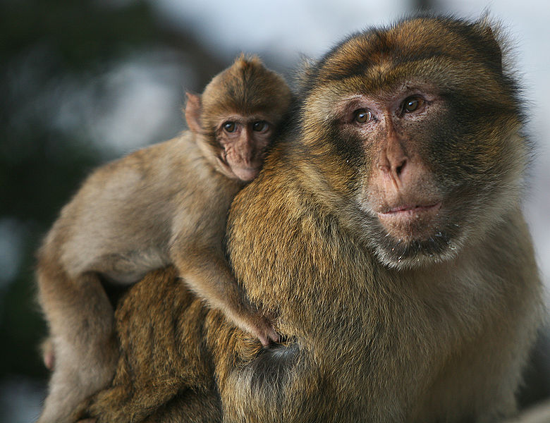 A young macaques monkey rests on an adult macaques monkey's back.