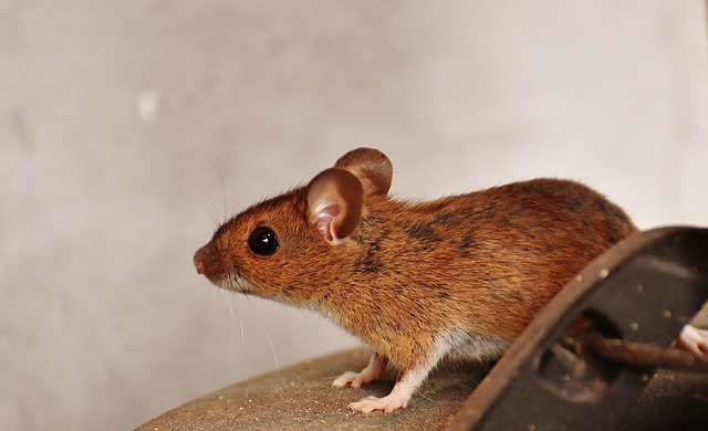 Close up of a mouse