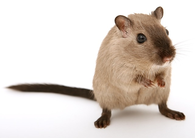 Brown mouse standing on a white background