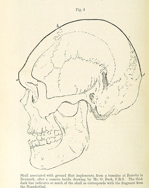 Illustration of a neanderthal skull.