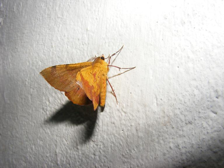 Close up photo of a yellow winged moth against a white background.