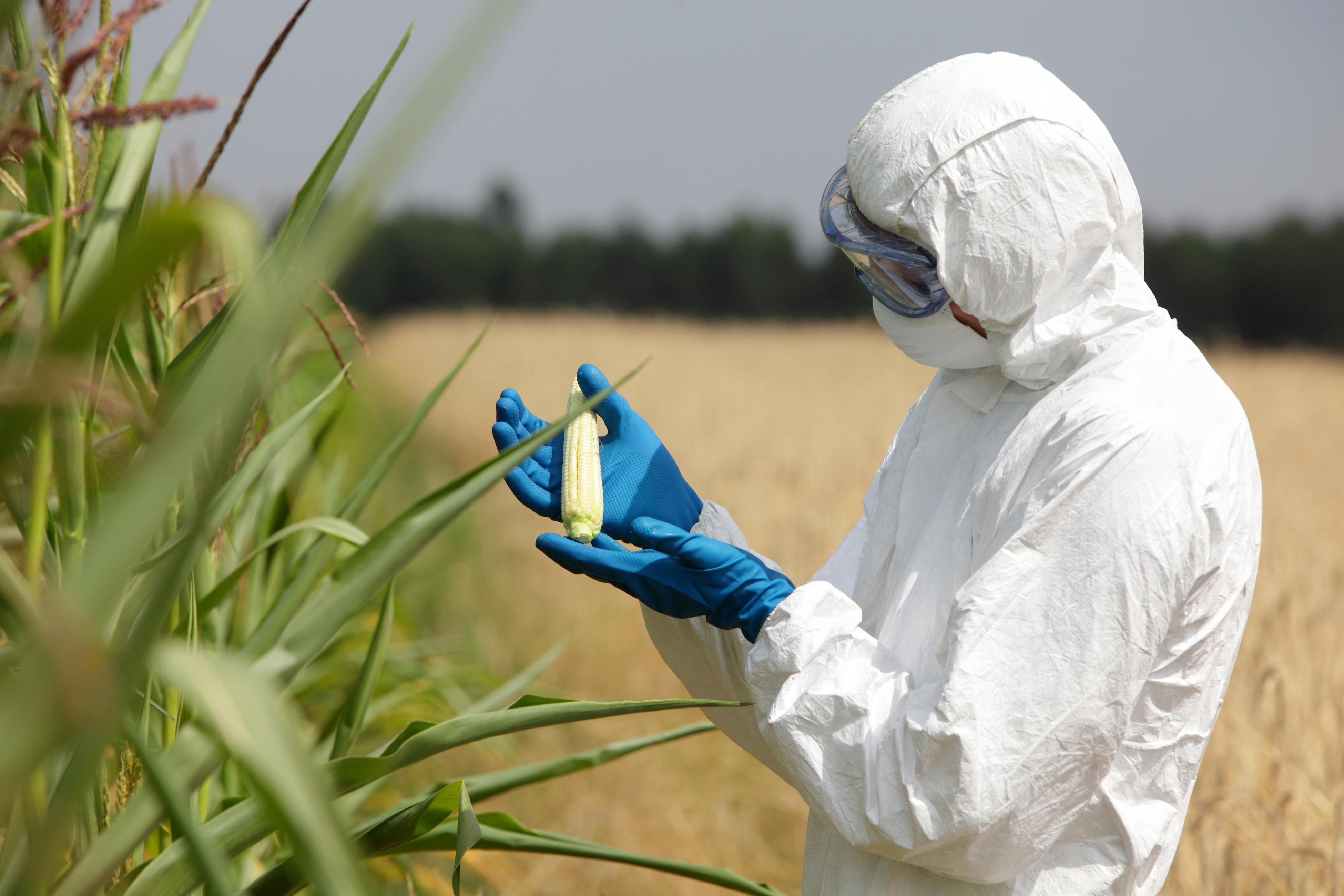 A person suited in bioharzard gear, examines a sample of corn in a field.
