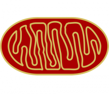 Illustrated image of mitochondria