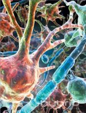 Microscopic image of nerological cells-- as an example of nondividing cells.