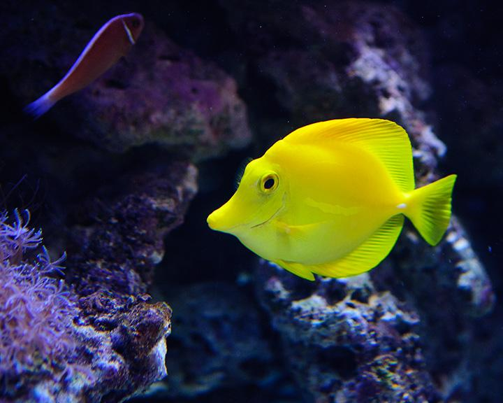 Bright yellow fluorescent fish in water