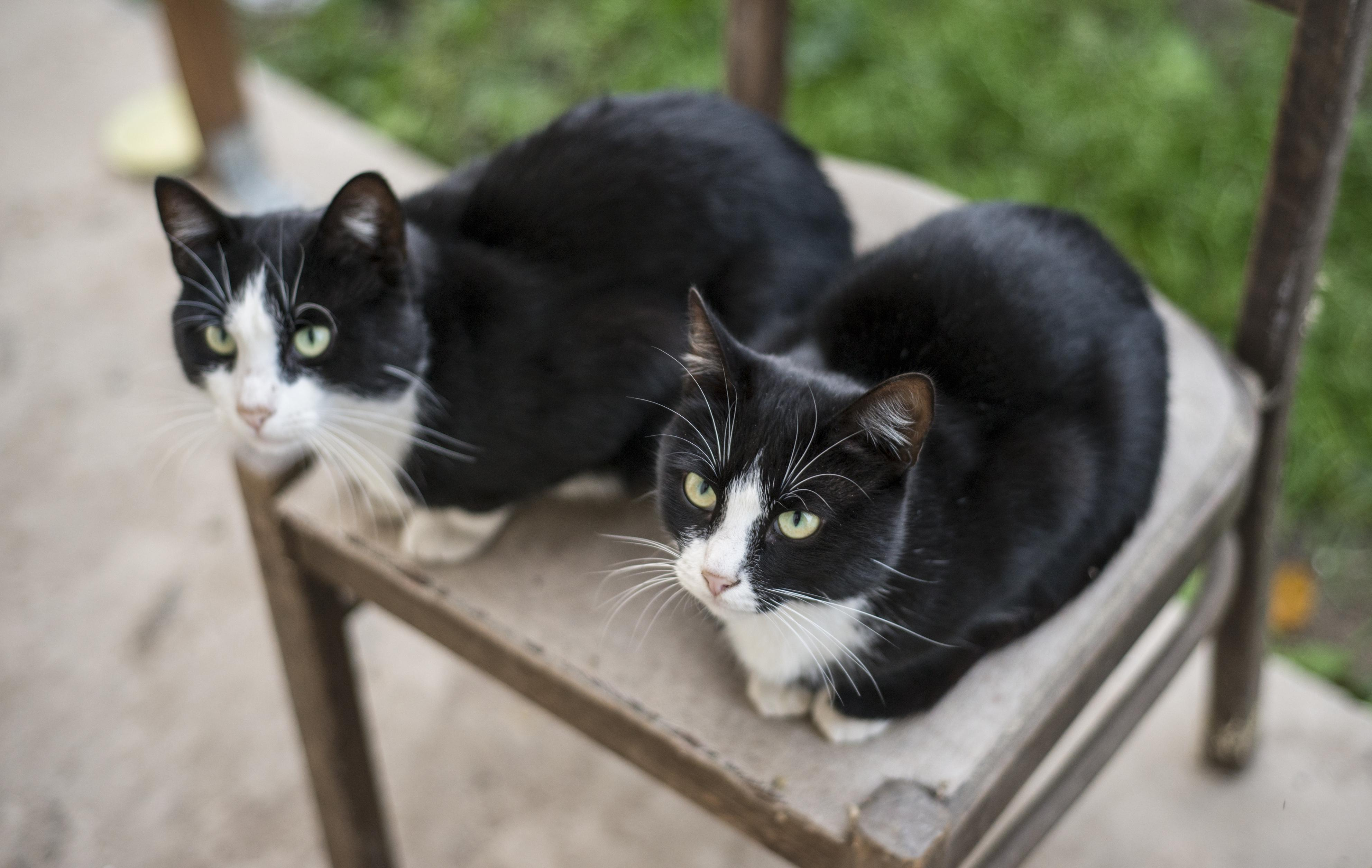 two identical black and white cats