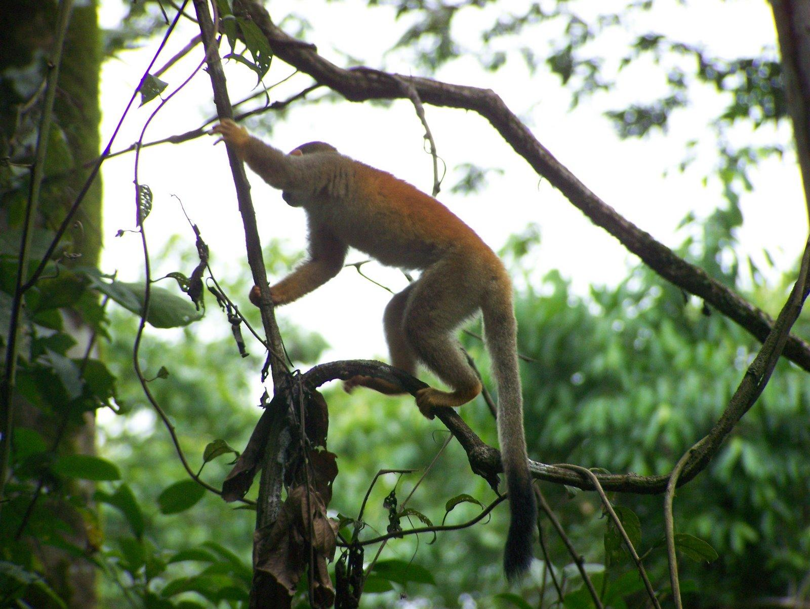 Burnt orange colored monkey swinging through the trees in central america