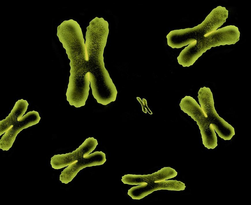 "7 bright yellow images of ""x-shaped"" chromosomes"