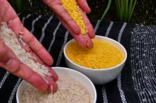 Regular and golden rice