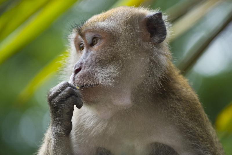 Macaque monkey eating
