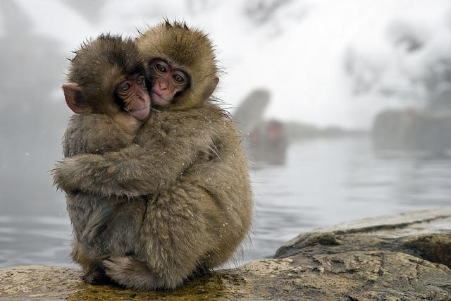 Two young macaque monkeys embracing
