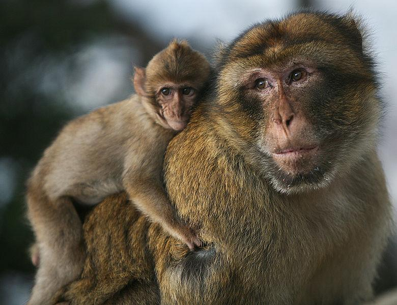 Baby macaque monkey riding on an adult macaque's back