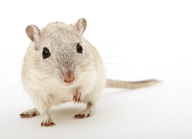 Close-up of a mouse against a white background