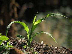 A corn plant springs up from the soil.