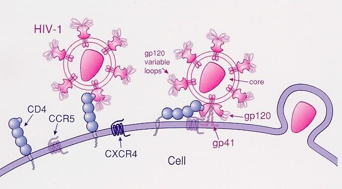 A scientific illustration of the HIV-1 virus and the CCR5 gene.